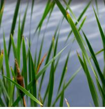 Cattails help keep our Wetlands alive
